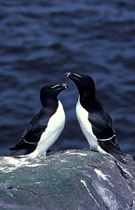 Razorbills {Alca torda} UK  -  Colin Preston