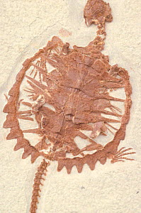 Fossil turtle from Eocene period {Chelydridae} - John Cancalosi
