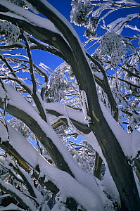 Gum trees covered with snow {Eucalyptus sp} Mt Buller NP, Australia  -  Steven David Miller