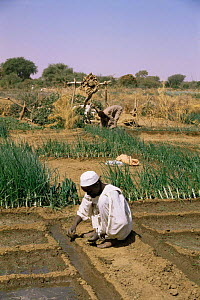 Planting vegetables with Shendough well irrigation system in background, Darfur, Sudan  1986  -  Sarah Byatt