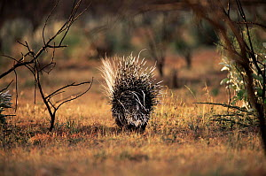 Back view of Crested porcupine {Hystrix cristata} walking away, Central Kenya  -  Peter Blackwell