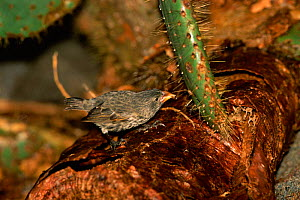 Large cactus ground finch {Geospiza conirostris} on cactus, Tower Island, Galapagos - Pete Oxford
