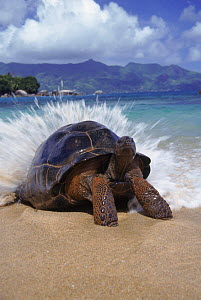 Giant tortoise {Geochelone elephantopus}  wave breaking on back, Aldabra, Seychelles - Adam White