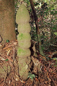 Termite mound in Ituri forest, Dem. Republic of Congo, Central Africa - Jabruson