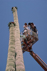 Filming saguaro cactus flowers Arizona, USA  -  NEIL NIGHTINGALE