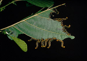 Birch sawfly {Cimbex femoratus} larvae displaying on alder  England, UK  -  Adrian Davies