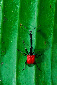 Giraffe necked weevil {Trachelophorus giraffa} male Perinet SR, Madagascar  -  Pete Oxford