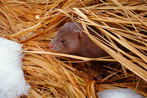 American mink {Mustela vison} peeping out of vegetation, Estonia - Dr Vadim Sidorovich