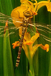 Southern hawker dragonfly {Aeshna cyanea} on yellow iris.  England, UK  -  Mark Yates