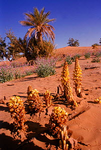 Parasitic broomrape {Cistanche phelypaea} among the desert plants it relies on, SE Morocco. - GRAHAM HATHERLEY