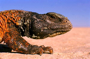 Moroccan spiny tailed lizard {Uromastyx acanthinurus} SE Morocco. - GRAHAM HATHERLEY