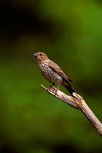 House finch {Caropodacus mexicanus}, female on branch, Long Is, New York, USA  -  Tom Vezo