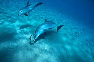 Bottlenose Dolphin adult and calf chasing squid {Tursiops truncatus} Red Sea  -  Dan Burton