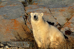 Polar bear {Ursus maritimus} sitting beside rocks, Churchill, Manitoba, Canada  -  Tom Vezo
