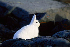 Portrait of Arctic hare {Lepus arcticus} against rocks, Churchill, Manitoba, Canada  -  Tom Vezo