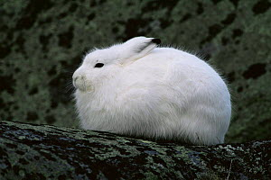 Side profile of Arctic hare {Lepus arcticus} ears held back, Churchill, Manitoba, Canada  -  Tom Vezo