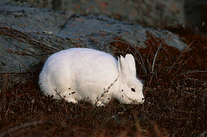 Arctic hare {Lepus arcticus} searching for food, Churchill, Manitoba, Canada  -  Tom Vezo
