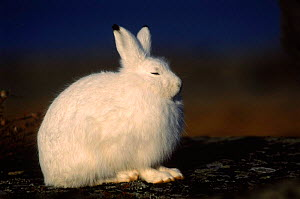 Portrait, Arctic hare {Lepus arcticus} sitting, eyes closed, Churchill, Manitoba, Canada  -  Tom Vezo