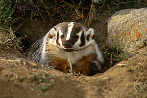 American badger coming out of burrow (Taxidea taxus) Montana, USA, captive  -  Tom Vezo
