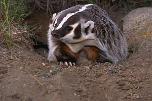 American badger {Taxidea taxus} coming out of burrow, Montana, USA, captive  -  Tom Vezo