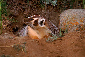 American badger {Taxidea taxus} coming out of burrow, Montana, USA C  -  Tom Vezo