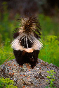 Striped skunk {Mephitis mephitis} on top of rock, Montana, USA C - Tom Vezo