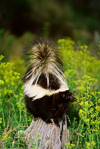 Striped skunk {Mephitis mephitis} on top of rock, Montana, USA captive - Tom Vezo