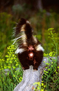 Back view of Striped skunk {Mephitis mephitis} on top of rock, Montana, USA, captive - Tom Vezo