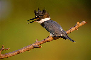 Belted kingfisher {Megaceryle alcyon} male perched, Long Island, New York, USA  -  Tom Vezo