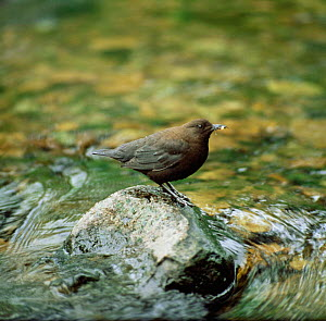 Brown dipper at water {Cinclus pallasii} Ussuriland, South Primorsky, Far East Russia - Yuri Shibnev
