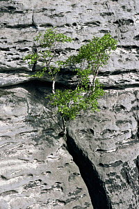 Tree growing on cliff face, Saxony, Germany  -  Christoph Becker