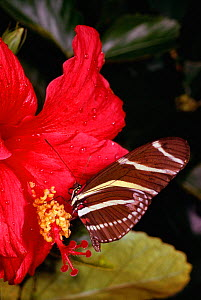 Zebra longwing butterfly on Hibiscus flower {Heliconius charithonia}  -  Lynn M Stone