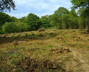 Clearing in woodland after Hazel coppicing {Corylus avellana} surrounded with Oak trees, Suffolk, UK - Adrian Davies