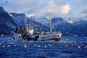 Norwegian fishing boat hauling in herring nets surrounded by gulls. Tysfjord, Norway.  -  Martha Holmes
