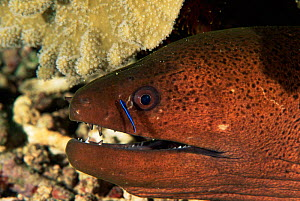 Giant moray eel with Cleaner wrasse fish{Gymnothorax javanicus} Papua New Guinea  -  Brent Hedges