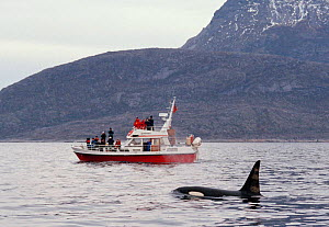 Male Killer whale {Orcinus orca} beside tourist boat, Tysfjord, Norway  -  Staffan Widstrand