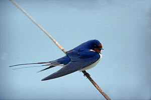 Barn swallow {Hirundo rustica} perched on reed stem. England, UK - STEVE KNELL