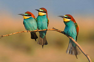 Three European bee eaters perched on branch, Greece  -  Steve Knell