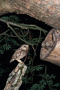 Little owl {Athene noctua} with prey for nestling, England, UK  -  Chris Packham