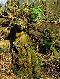 Moss covered gnarled tree stump, Mendips, Somerset, UK -  ideal habitat for dormouse - Jim Hallett