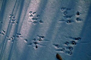 Tracks of European river otter in snow. {Lutra lutra} far east Russia  -  Yuri Shibnev