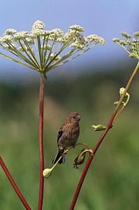 Long tailed rosefinch {Uragus sibiricus} Ussuriland, Primorsky, Far East Russia.  -  Yuri Shibnev