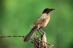 Common Grackle {Quiscalus quiscula} perching on post, Wisconsin, USA. - Larry Michael
