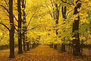 Avenue of Sugar maples in autumn {Acer saccharum} Wisconsin, USA  -  Larry Michael