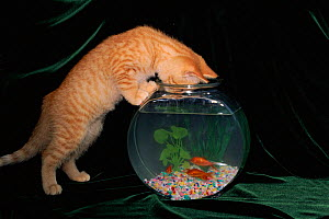 Domestic cat investigating goldfish bowl, USA  -  Larry Michael
