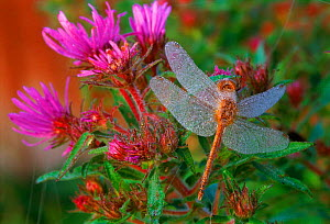 Dragonfly on plant covered with dew  USA  -  Larry Michael