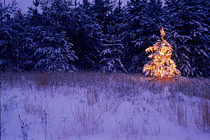 Christmas tree on edge of coniferous forest Wisconsin, USA  -  Larry Michael