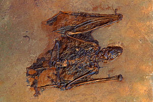 Fossil of Eocene era bat {Palaeochiropteryx tupaiodon} Messel, Germany - John Cancalosi