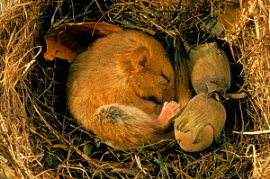 Hibernating dormouse {Muscardinus avellanarius} curled up asleep in nest, Sussex, UK  -  George McCarthy