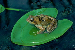 Common frog {Rana temporaria} on heart-shaped lily pad, England, UK  -  George McCarthy